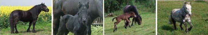 Bildband Fell Pony